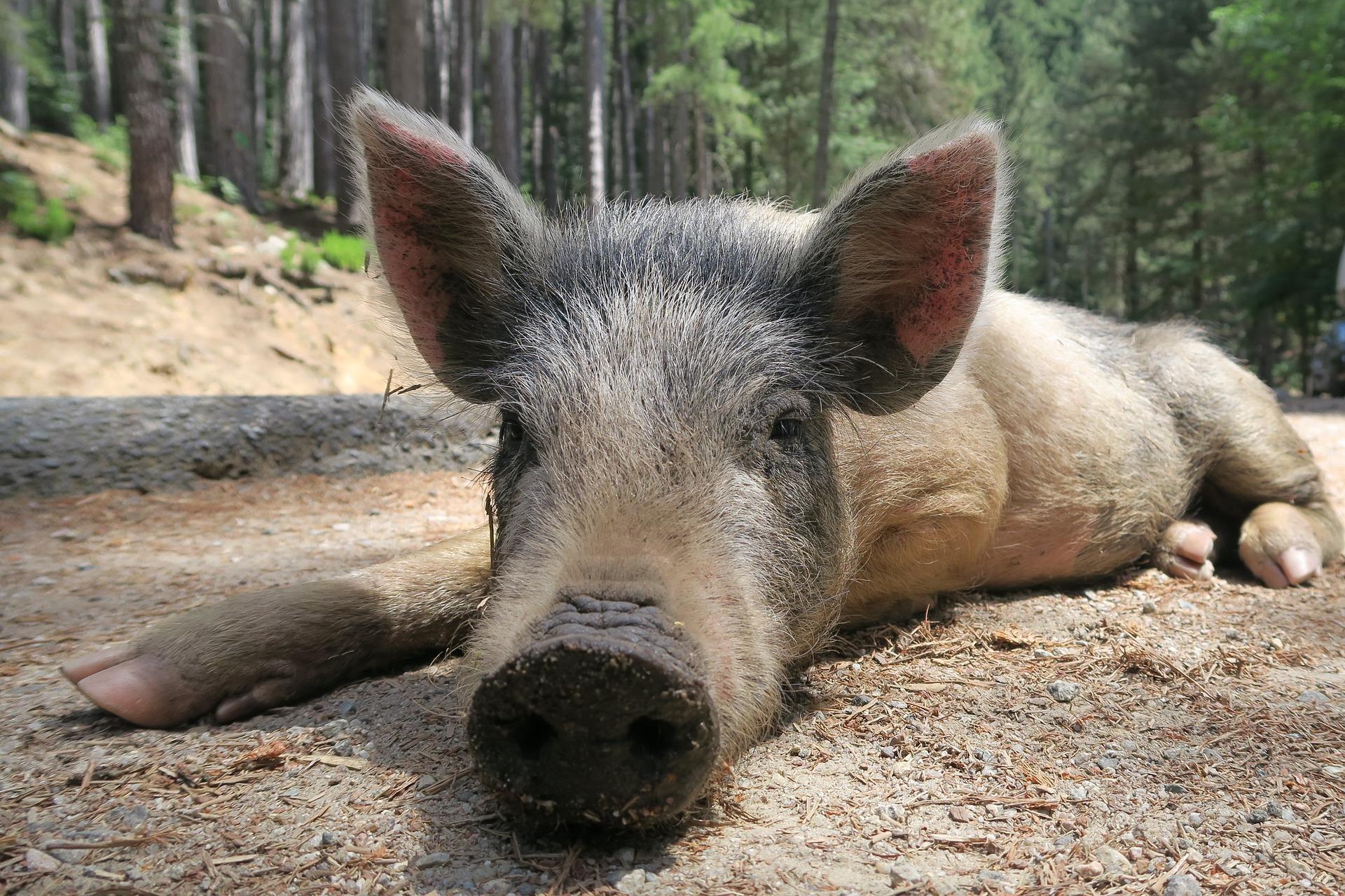 Motorradurlaub in Korsika - Schweine
